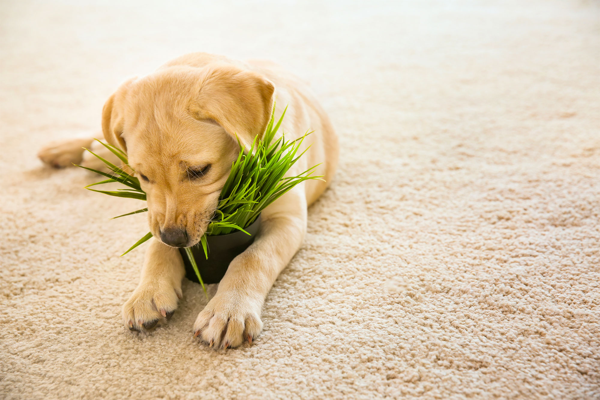 agripet-healthy-greens-cat-dog-pet-grass-02