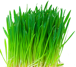 agripet-healthy-greens-oat-grass